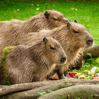 Il capibara