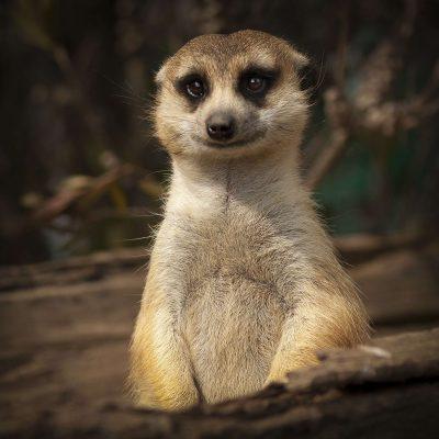 Il suricato